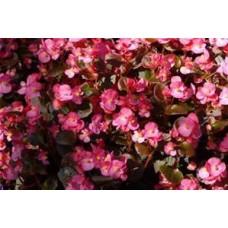Begonia - Bronze Leaf - Pink - flat of 36