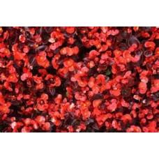 Begonia - Bronze Leaf - Red - flat of 36