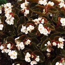 Begonia - Bronze Leaf - White - flat of 36