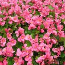 Begonia Green Leaf - Pink - flat of 36