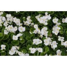 Begonia Green Leaf - White - flat of 36