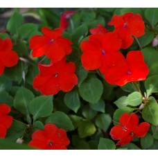 Impatiens - Red - flat of 36