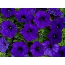 Petunia - Blue - flat of 36