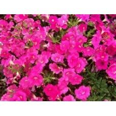 Petunia - Pink - flat of 36