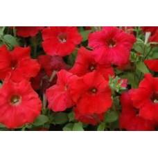 Petunia - Red - flat of 36