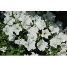 Petunia - White - flat of 36