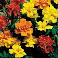 Marigold  Mix Color - flat of 36