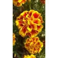 Marigold Bi-Color - flat  of 36