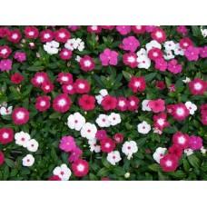 Vinca - Mix Color - flat of 36