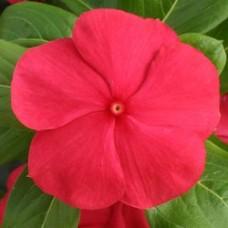 Vinca - Red - flat of 36