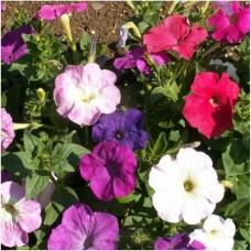 Petunia - Mix Color - flat of 36