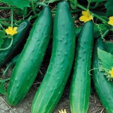 Cucumber - Burpless - 4 inch pot