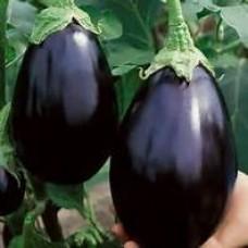 Eggplant - Black Beauty - 4 inch pot