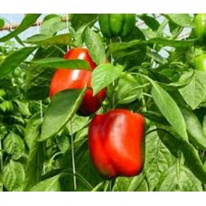 Peppers - Red Beauty (mild) - 4 inch pot
