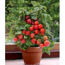 Tomatoes - Patio - 4 inch pot