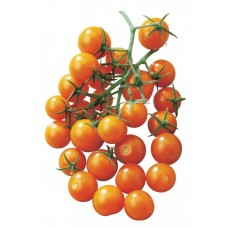 Tomatoes - Sungold - 4 inch pot