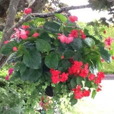 Begonia - Dragon Wing - Red - 10 inch hanging basket