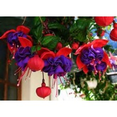 Fuchsia - Red and Blue - 10 inch hanging basket