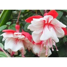 Fuchsia - Red and White - 10 inch hanging basket