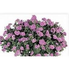 Geranium - Lavender - 10 inch hanging basket