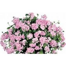 Geranium - Pink - 10 inch hanging basket