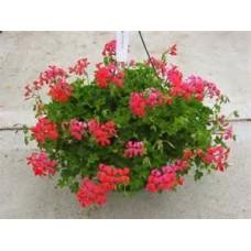 Geranium - Coral - 10 inch hanging basket