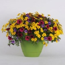 Mixed Annuals - Various Colors - 10 inch hanging basket