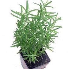 Rosemary - 4 inch pot