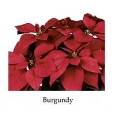 Poinsettia Burgundy large triple