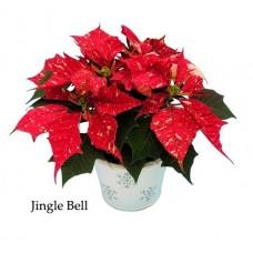 Poinsettia Jingle Bell - regular, single