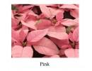 Poinsettia Pink - regular, single