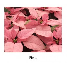 Poinsettia Pink - large, triple