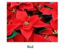Poinsettia Red - regular, single