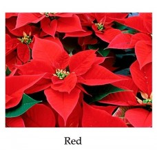 Poinsettia Red - large, triple