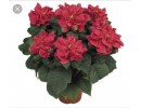 Poinsettia Rose - regular, single