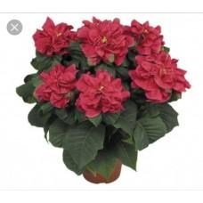 Poinsettia Winter Rose - regular, single