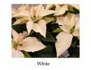 Poinsettia White - regular, single