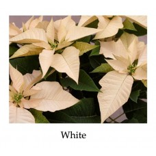 Poinsettia White - large, triple