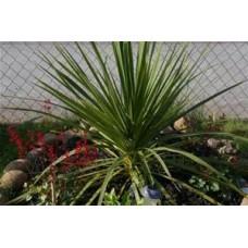 Spike Dracaena Plant - 4 inch pot