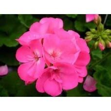 Geranium - Pink - 4.5 inch pot