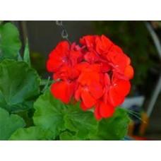 Geranium - Red - 4.5 inch pot