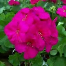 Geranium - Violet - 4.5 inch pot