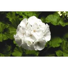 Geranium - White - 4.5 inch pot