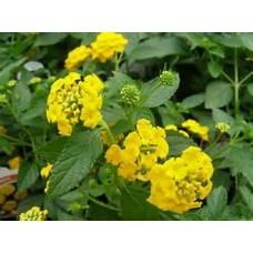 Lantana - Yellow - 4.5 inch pot