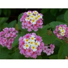 Lantana - Pink - 4.5 inch pot