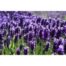 Lavender - 4 inch pot