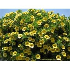 Calibrachoa  - Million Bells - Yellow - 10 inch hanging basket