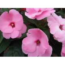 New Guinea Impatiens - Pink - 4.5 inch pot