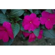 New Guinea Impatiens - Purple - 4.5 inch pot