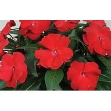 New Guinea Impatiens - Red - 4.5 inch pot